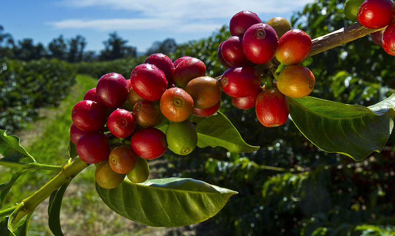 Coffee Berry Review – Coffee Cherry Extract Benefits