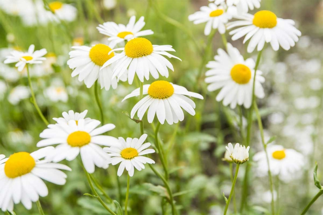 Chamomile Use Side Effects And Drug Interactions – OkReviews